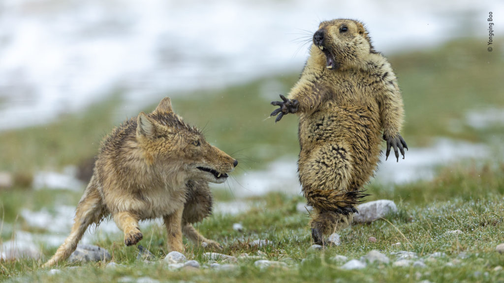 Tibeten Fox and Marmot