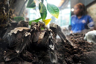 Indian Ornamental Tarantula