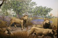 lion diorama. Photo by Mike Servedio/ANS