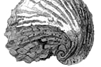 drawing of a shell