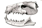 lithograph of fossilized skull of Hyaenodon horridus