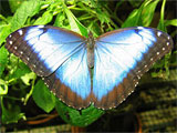 Blue Morpho Butterfly, photo by Natalie Coleman
