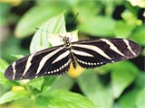Zebra Longwing Butterfly, photo by Maggie Anton