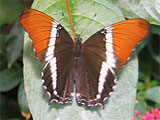 Rusty Red Tip Butterfly, photo by Natalie Coleman