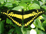 Thoas Swallowtail Butterfly, photo by Natalie Coleman