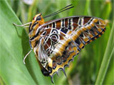 White-Barred Charaxes Butterfly, photo by Natalie Coleman