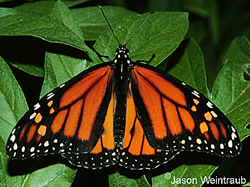 monarch butterfly adult