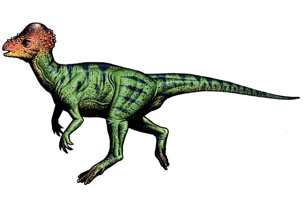 Pachycephalosaurus illustration by Robert F. Walters
