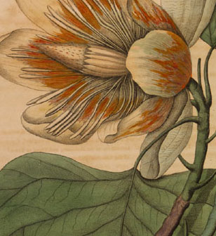 detail of a tulip poplar flower from Barton's Medicinal Plants