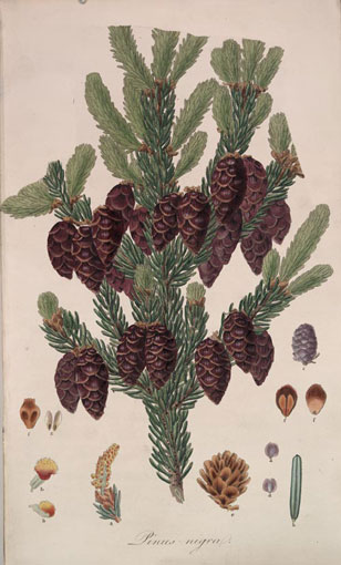 botanical illustration (Picea) from Aylmer Lambert's Pines