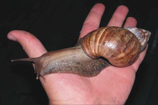 photo of giant african snail on a hand