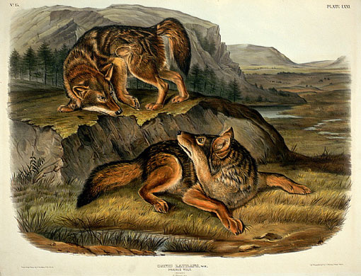Coyote illustration by John James Audubon