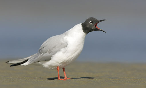 Bonaparte's Gull squawking on a beach