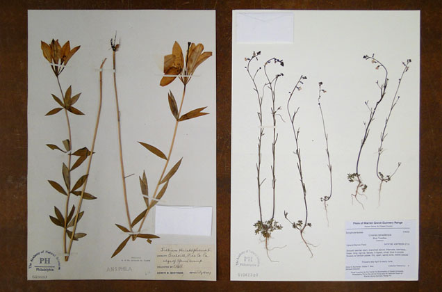 two herbarium sheets from the Academy's local herbarium