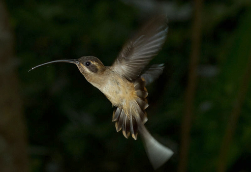 photograph of Long-taled Hermit hummingbird by Brian Gratwicke
