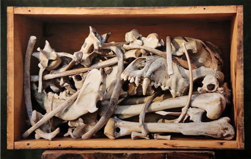 box containing a jumble of bones from and Inuit sled dog