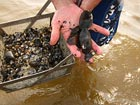 freshwater mussels collected from the Delaware River