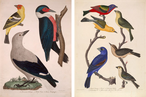 bird illustrations from Wilson's American Orthithology