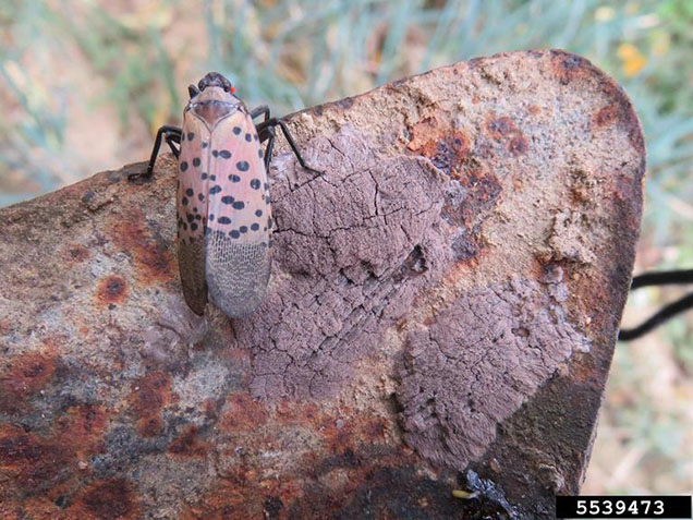 spotted lanternfly (Lycorma delicatula) Kenneth R. Law, USDA APHIS PPQ, Bugwood.org