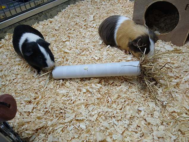 two guinea pigs playing with cardboard roll