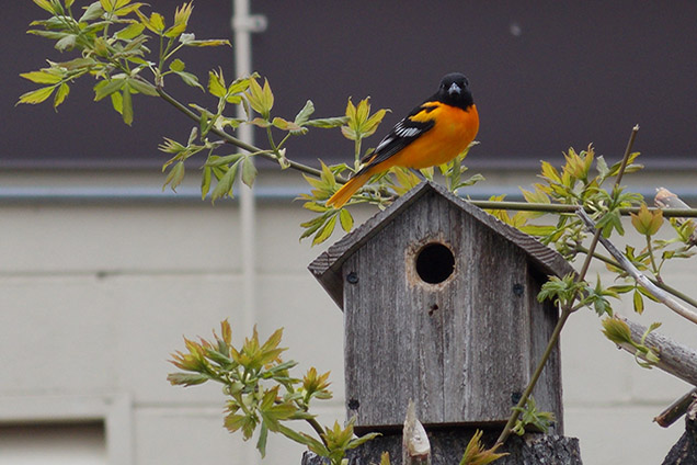 orange and black bird sitting on wooden bird house