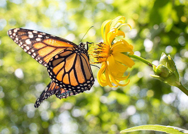 orange and black monarch butterfly resting on yellow flower