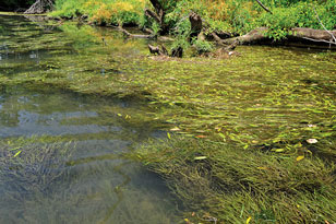 macrophytes in the Holston River