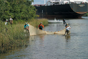 field crew seining for shoreline fish along an estuarine shipping channel
