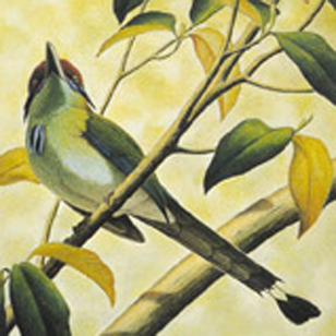 Orange Crowned Motmot drawing