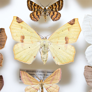 Pinned Moths