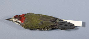 Cuban Green Woodpecker specimen