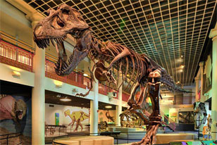 skeletal mount of Tyrannosaurus in Dinosaur Hall