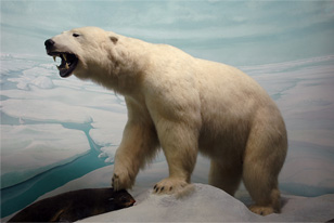 Diorama with a polar bear and a seal is has just caught.