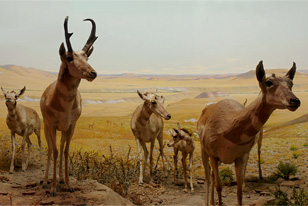 Diorama of American pronghorn showing one male, three females and a young individual.
