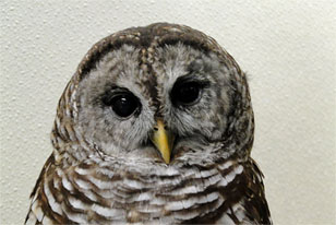 closeup on the face of a barred owl who lives in the Live Animal Center