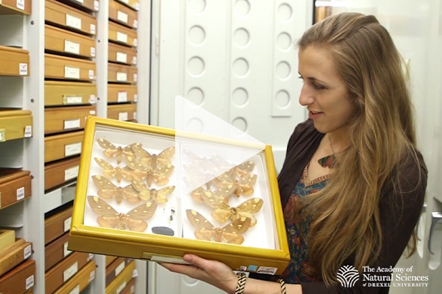 A scientists holding pinned butterflies in a glass case in a room with specimens.