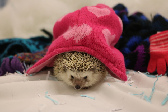 Hedgehog in winter hat