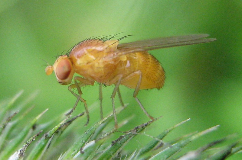 A fruit fly standing on an evergreen branch